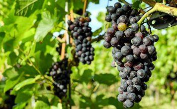 צעדים ראשונים בהכנת יין